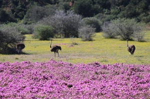 flower season in Addo Elelphant National Park