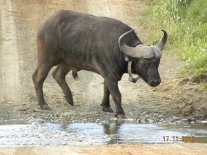 Buffalo released in Camdeboo