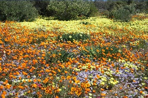 Namaqua National Park flower season