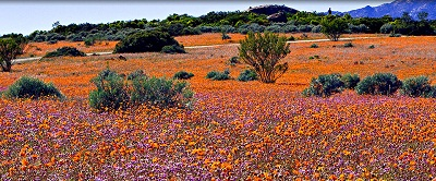 Namaqua flowers