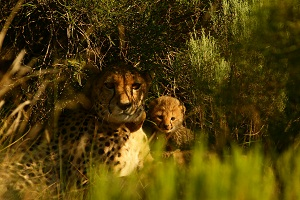 Nixi and one of her cubs