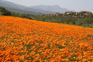 Flowers in Namaqua National Park