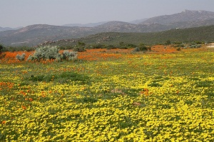 Flower season in Namaqua