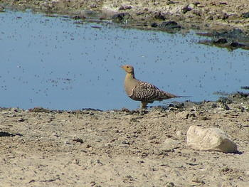 Namaqua Sandgrouse, (male)