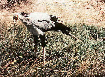 Secretarybird
