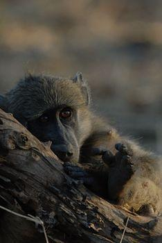 a smit animals littlebaboon