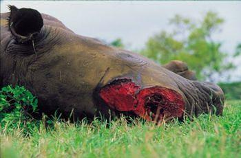 Rhino - only the horn is taken when the animal is slaughtered