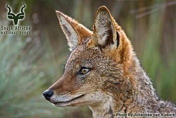 GGHNP - Wildlife - Black-backed Jackal