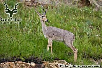 GGHNP - Wildlife - Grey Rhebok