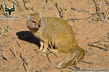 Kgalagadi - Wildlife - Yellow Mongoose