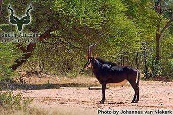 Marakele - Wildlife - Sable on adjoining property