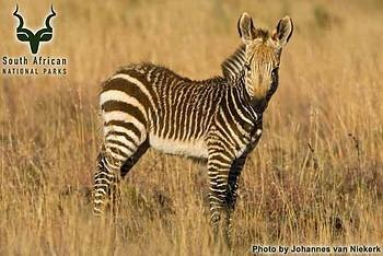 Mountain Zebra NP - Wildlife - Mountain Zebra