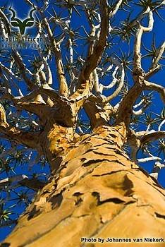 Richtersveld - Landscape - Quiver Tree