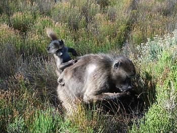 Chacma Baboon foraging with her baby