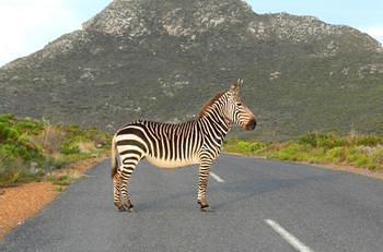 Zebra stopping traffic until her  foal crosses the road