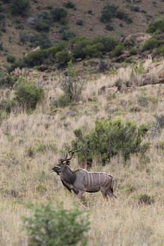 Kudu taken at Mountain Zebra Park