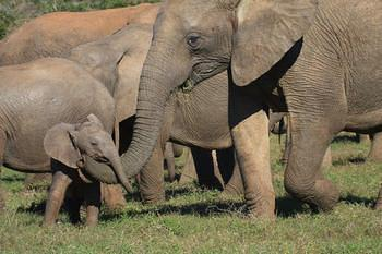 Elephants with cub taken at Addo