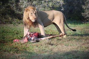 Lion with kill taken at Addo