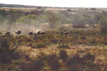 Ostrich Running taken in the Restcamp of the Karoo National Park