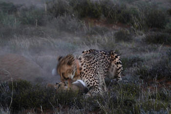 Cheetah hunting a hare taken at Mountain zebra national park