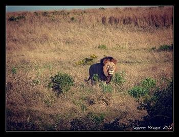 Male lion taken at Addo
