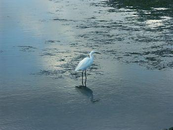 Little Egret, Knysna