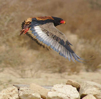 Bateleur in flight taken at the Cubitje Quap waterhole
