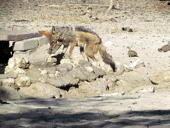 Jackal and his catch taken at the waterhole Rooikop just outside Nossop camp