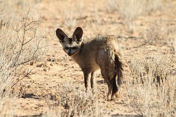 Bat Eared Fox taken south of Kalahari Tented camp