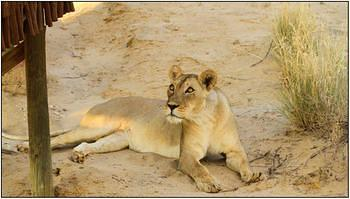Lioness taken at Nossob Bird Hide