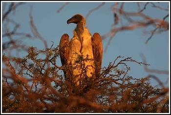 White-backed vulture taken near Rooiputs waterhole