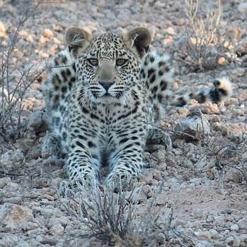 Leopard Cub relaxing in the shade