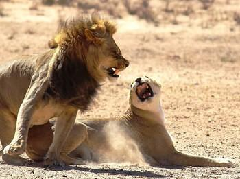 Mating Lions taken at Craig Lockhart