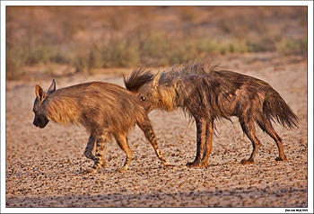 Rare to see two Brown Hyenas together