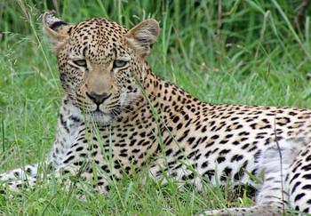 Leopard taken at Lower Sabie