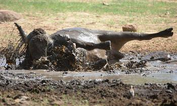 Buffalo Bath time taken near Lower Sabie