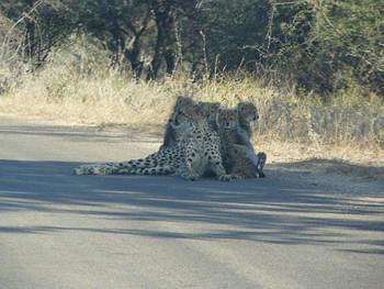 Cheetah & 5 Babies taken on the H4-1 about 5 kms before the S21 turnoff