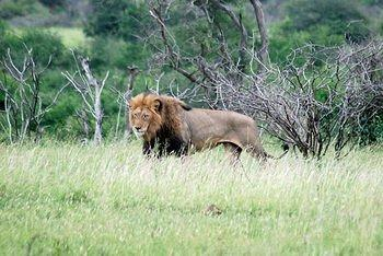 Lion taken 2km North of Tshokwane