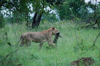 Lioness with Warthog Kill taken on H1-1 West of Transport Dam