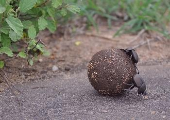 Dung beetle with load and freeloader taken on H10 towards Lower Sabie