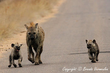Hyena and cubs