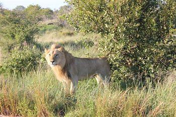 Lion taken at Satara