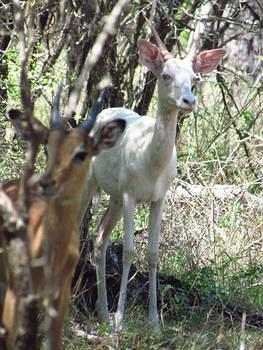Albino Impala taken on the Crocodile River Road