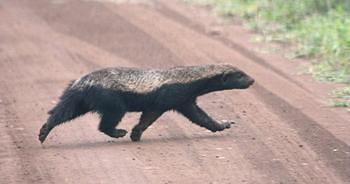 Honey Badger taken on  the dirt road between Lower Sabie and Crocodile Bridge