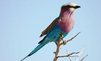 Lilac Breasted Roller taken near Skukuza