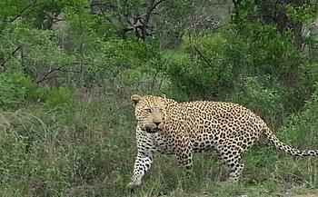 Male leopard about 7 km south of Skukuza on HI-1