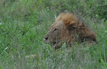 Lion taken on H1-2 Tshokwane