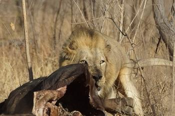 Male lion with a buffalo kill on H5