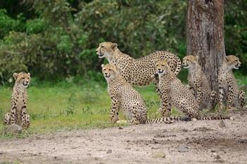 Cheetah with five cubs taken on S100