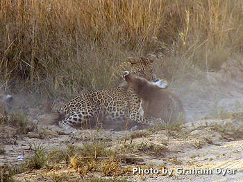Leopard killing a young Waterbuck on road verge near Transport Dam